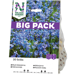 IDÄNSINILILJA 'Big Pack'