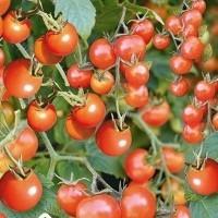 Tomaatin siemenet | Siemenkauppa.com